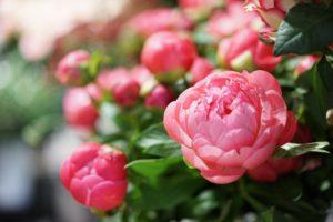 pivoine ouverte rose